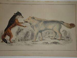 C1850 Cuvier Goldsmith Estampado Gris Lobo & Capa Jackall