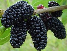 """SWEET & TASTY BLACK MULBERRY 6-12"""" Tall Potted Starter Plant"""