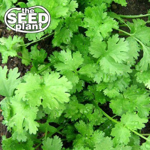 50 SEEDS-SAME DAY SHIPPING Coriander Seeds ORGANIC