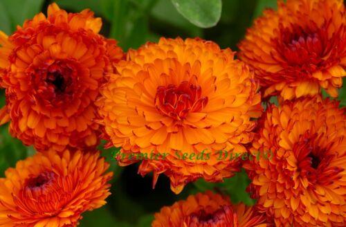 FLOWER CALENDULA NEON 1 GRAM ~ APPROX 200 FLOWER SEEDS