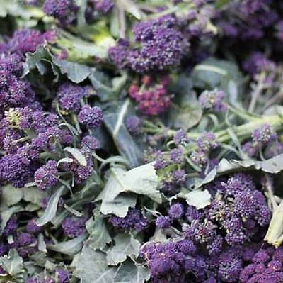 Purple Sprouting Broccoli - 1500 Seeds - Brassica Oleracea