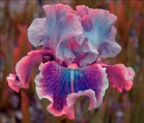 Red Edge Iris 2 Bulbs Perennial Bearded Flower Resistant Hardy Rare Unique Plant
