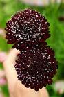 Mourningbride - Scabiosa atropurpurea - Annual Flower Seeds