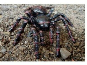 Funnel-Web-Spider-8-CM-Animals-Of-Australia-Science-and-Nature-78082
