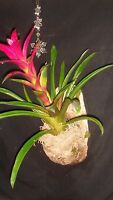 Hand Blended Bromeliad Soil-12 Qts. Organic By Psnature