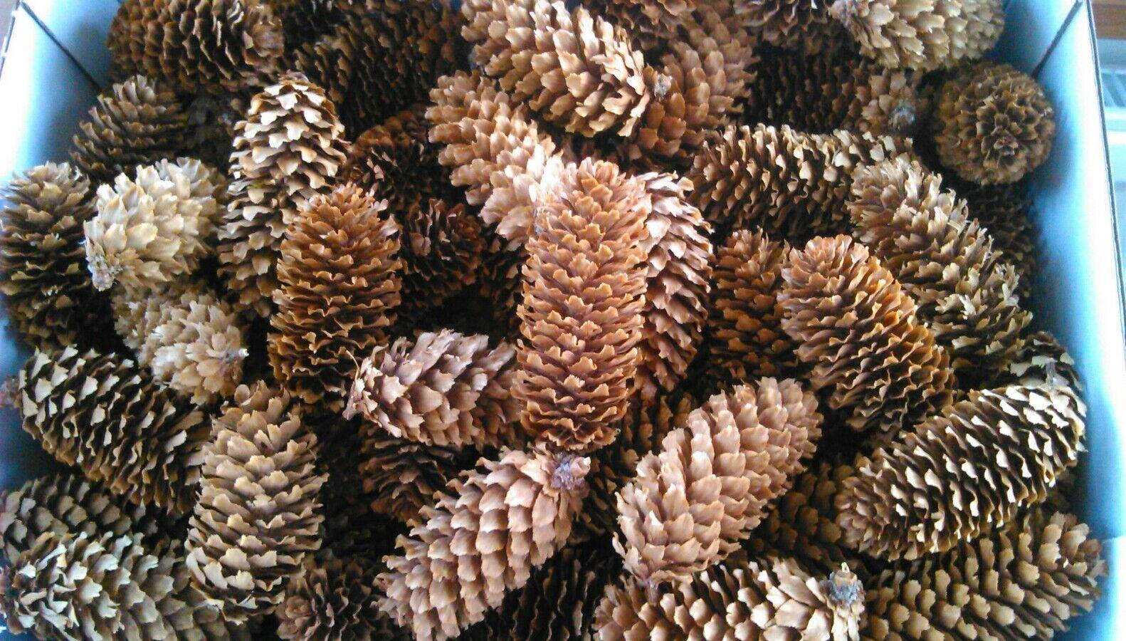 50 Pine Cones Spruce 5-8 cm Craft, Wedding, Wreaths, Florist