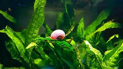 5+ Live Red Ramshorn Snails PLANT SAFE! Live Arrival Guarantee Same Day Shipping