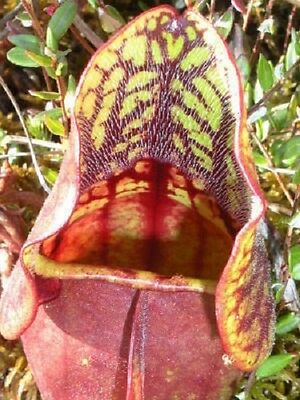 10 PURPLE PITCHER PLANT Sarracenia Purpurea CARNIVOROUS Flower Seeds *Comb S/H