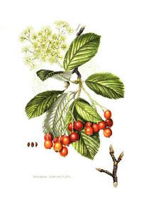 Alter-Farbdruck-Mehlbeere-von-1959-Bild-Picture-Vintage-Sorbus-aria-Baum