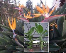 Riesen-Strelitzie Samen / pflegeleichte blühende Wohnungspflanzen Zimmerpflanzen