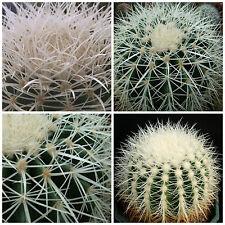 50 semi  di Echinocactus grusonii var.alba ,cuscino della suocera ,seeds cactus