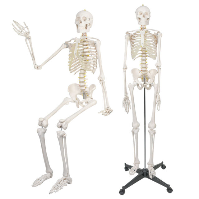 180cm Anatomical Human Anatomy Skeleton Medical Model Stand Full