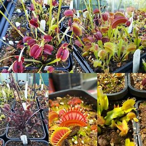 -25 fresh seeds plante carnivore 2020 25 graines fraîches Dionaea muscipula