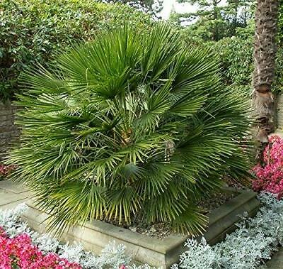 "Chamaerops humilis /""Mediterranean Fan Palm/"" Cold Hardy! 25 seeds"
