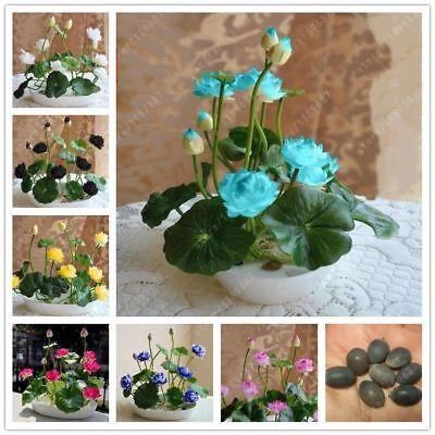 5pcs//bag lotus flower bowl seeds hydroponic plants aquatic plants bonsai flower