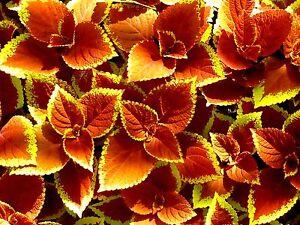 ORANGE SUNSET COLEUS Glowing Foliage Flower Colorful Shade Large Leaves 12 Seeds