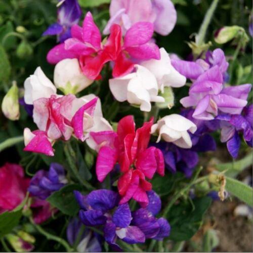 Fiore-re semi-pacchetto immagine-Pisello odoroso-Cupid misto 20 semi