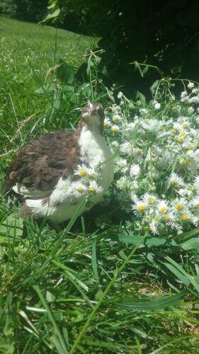 25 Will Include TUXEDO VARIETY! Rosetta Corurnix Hatching Eggs By Myshire Farm
