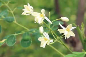 Moringa oleifera seeds tree fast grower white flowers drought image is loading moringa oleifera seeds tree fast grower white flowers mightylinksfo