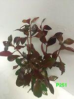 Ludwigia Peruensis 'diamond' - Potted Plant P251