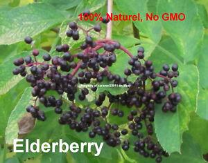 25-seeds-elderberry-Sambucus-nigra-Sureau-noir-black-elder-European