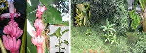 Drei-winterharte-Bananen-Schneebanane-Faserbanane-amp-Musa-velutina-Samen-Set