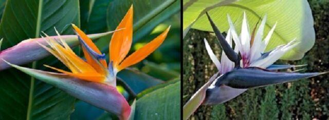 BIRD OF PARADISE Seeds both Strelitzia Nicolai & Reginae