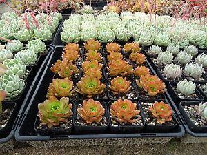 Vertical-garden-succulent-aeoniums-30-cuttings-5-different-types