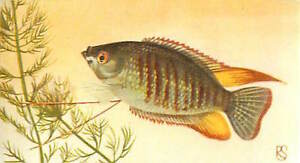 OLD-CARD-IMAGE-Trichogaster-labiosa-Thick-lipped-Gourami-a-grosses-levres-FISH