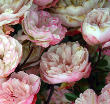 Rosa Chinensis Angel Wings | Miniature Rose | 10_Seeds