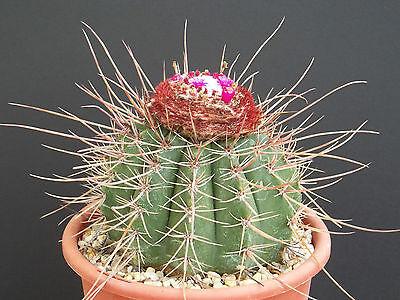 Melocactus MIXED VARIETY MIX cacti rare cactus globular cephalium seed 100 SEEDS