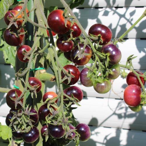 tolle Fruchtfarbe riesige Rispen 10 Samen Glosy Rose Blue Tomate
