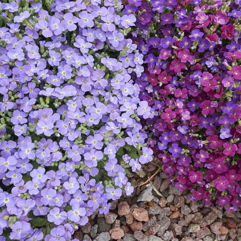 Aubrieta hybrida Cascade Mix Rock Cress - Appx 500 seeds - Rockery variety