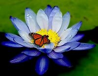 Live Water Lily Blue Color Nymphaea Sea Blue Tropical Me072 (refer )