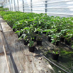 papaya ca 60 80 cm carica melonenbaum papayabaum papayapflanze ebay