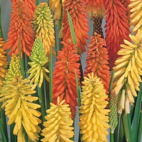 Paquet x 6 Rouge Chaud Poker Kniphofia /'FLAMENCO/' Vivace Jardin Petites Plantes
