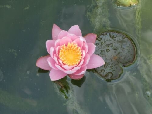PINK TROPICAL WATER LILY OFF SHOOT