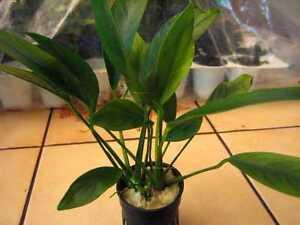1-Topf-ANUBIAS-Lanceolata-BARSCHFEST-f-Aquarium