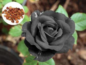 20 Black Rose Rare Flower Seeds, Exotic Black Rose Home Garden ...
