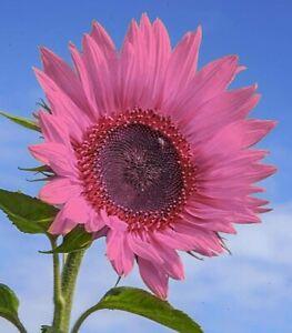 USA SELLER 50 PInk Sunflower Seeds Plants Garden Planting 50 Pack