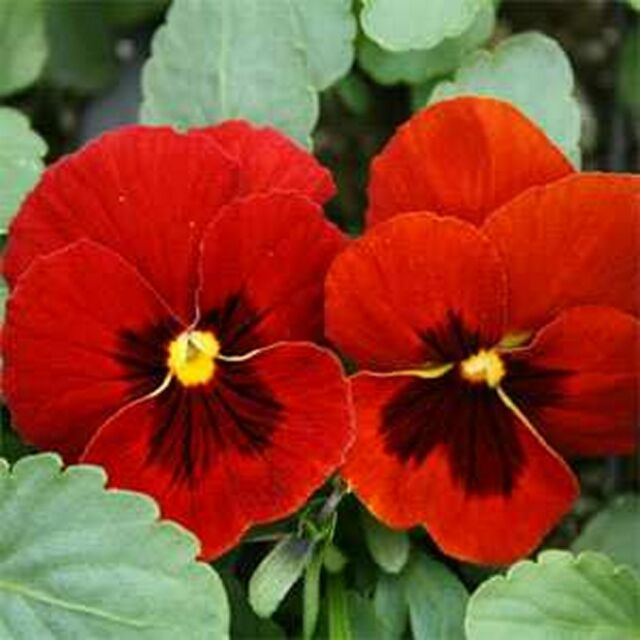 Pansy- Alpenglow- 25 Seeds