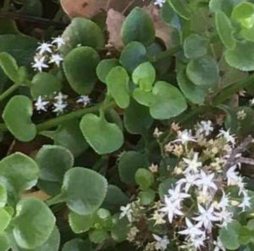 2 esquejes Crassula spathulata planta millones de corazones