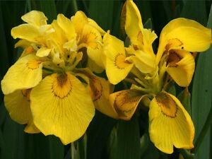 Iris-jaune-des-marais-a-FLEUR-DOUBLES-Flore-Plena-Plante-bassin-vivace-bassin