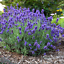 Lavender Flower Plant Seed  Lavender Potted Easy Grow Bonsai Plant Seed 10 Pcs