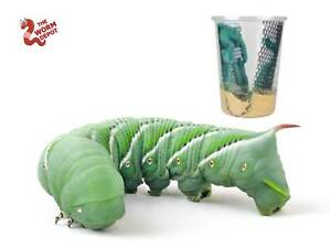"""25-35 Live Hornworms """"Goliath Worms"""" With extra food to grow to 4"""" Adult Worms"""