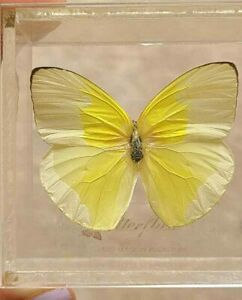 Preserved Mounted Plastic Encased Butterfly Box Puerto Rico Souvenir