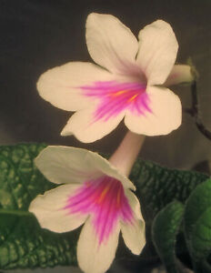 Cape Primrose / Streptocarpus hyb. 500+ Seeds bulk packet : Mixed Colors