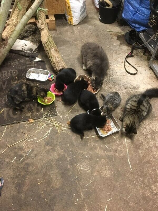 Hankat, Blanding huskat , 12 uger