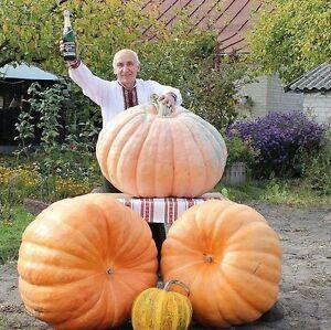 100% De Qualité Pumpkin Seeds Titan Ukraine Heirloom Semences Potagères-afficher Le Titre D'origine