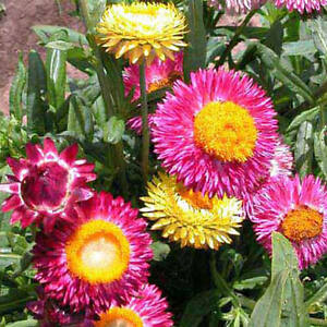 Strohblume-Tall-Double-Mix-Helichrysum-bracteatum-1000-Samen-Saatgut-Blumen